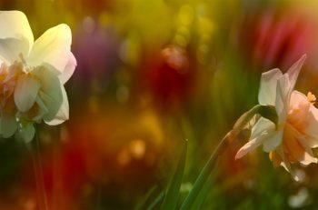 عطر گل نرگس و عطر هایی با رایحه ی آن